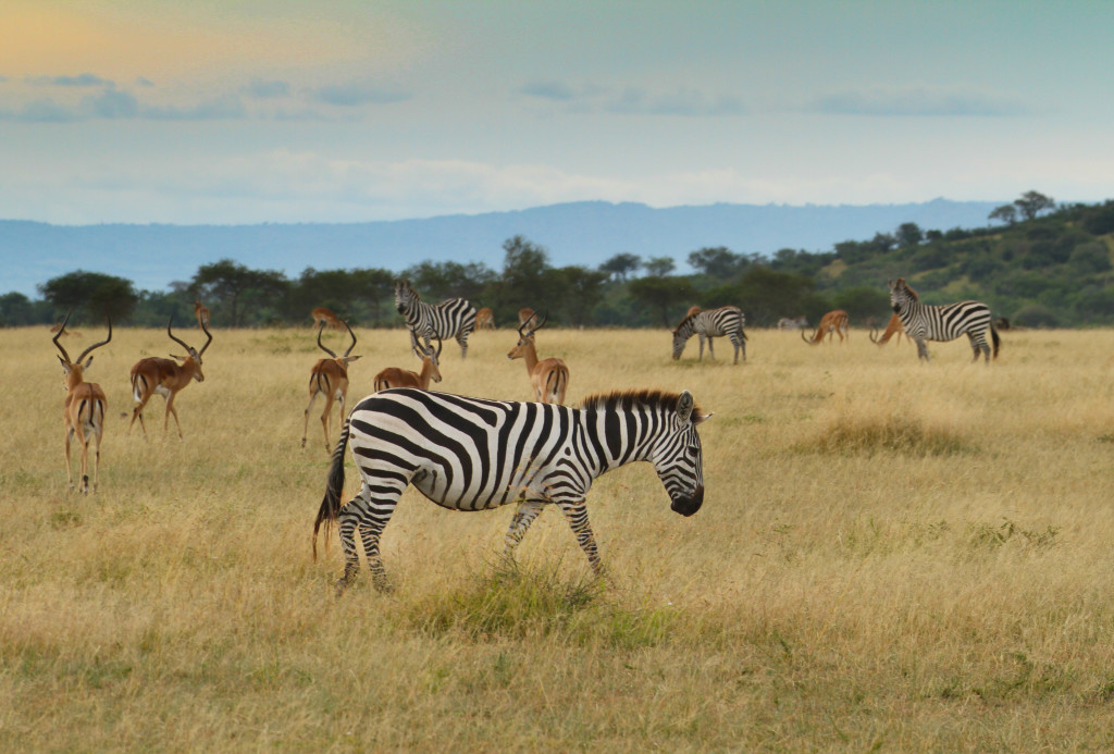 Within 5 minutes of our first safari drive we were driving through herds of zebras and antelope.