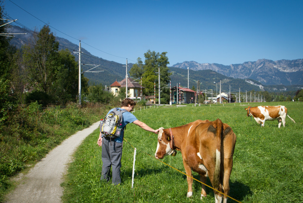 Hiking along cow pastures in the Austrian Alps