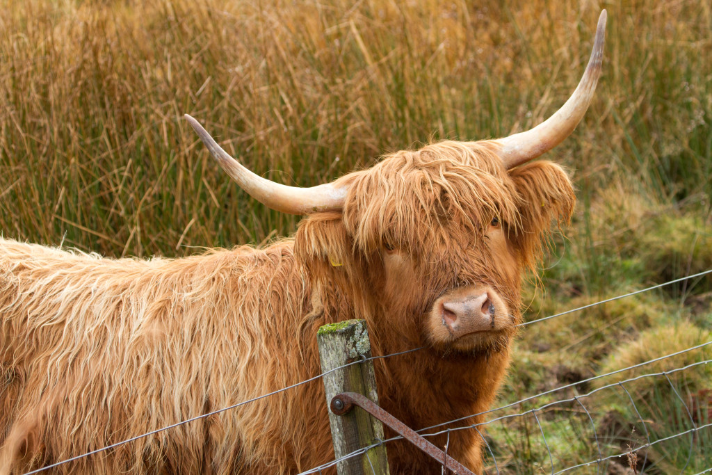 Hairy Coo on the Isle of Mull