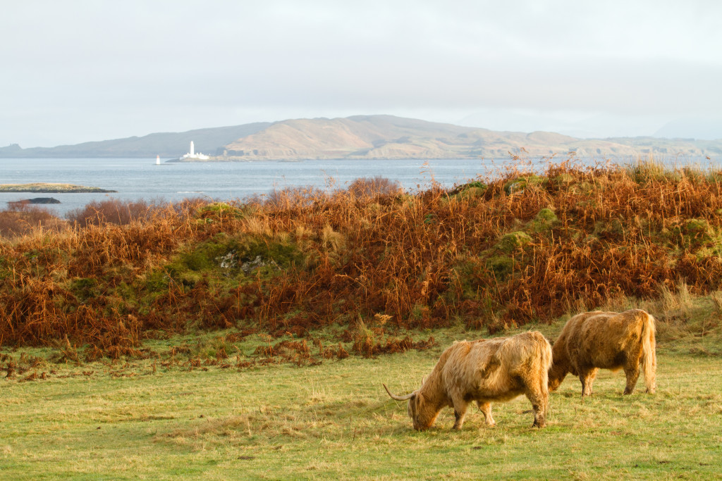 Hairy Coos grazing on the Isle of Mull